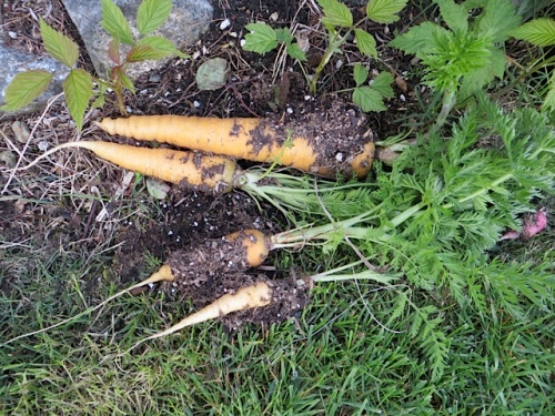 pulled last year's forgotten carrots from a pot...relic of edible garden tour...a bit woody now, I would think..