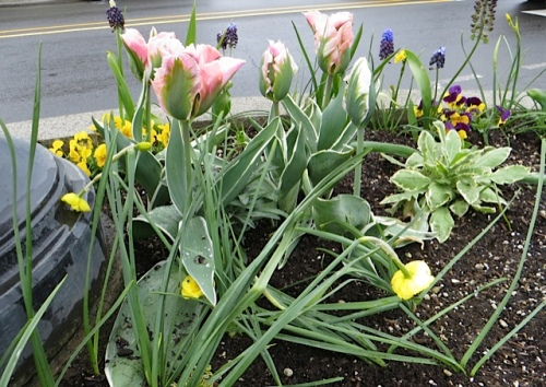 Tulip viridiflora 'China Town' in front of the carousel