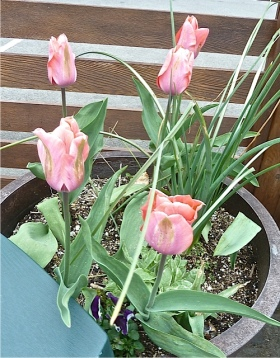 tulips in the courtyard