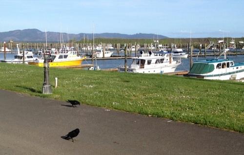 happy crows at the marina