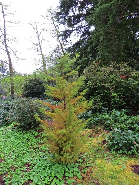 another cryptomeria