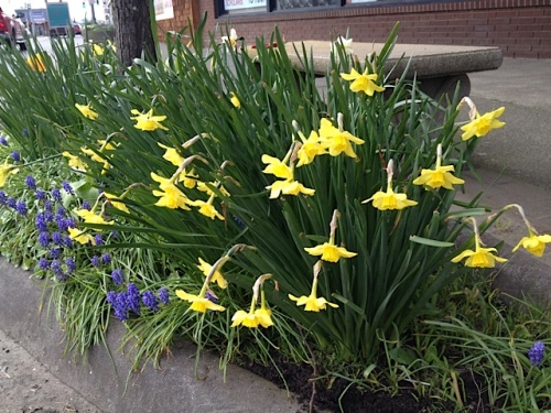 and narcissi under the street tree in front of Dennis Co