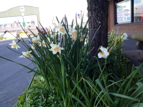 We deadheaded Narcissi in front of Dennis Co.