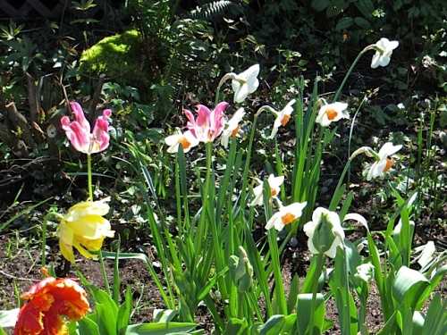 tulips and narcissi in the Depot garden