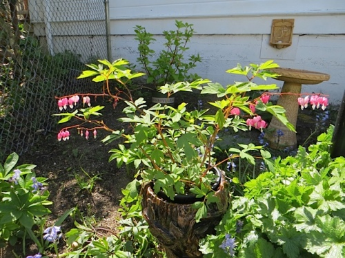 Erin had added a lovely Dicentra to her back garden.