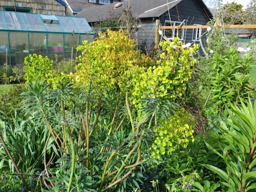 Euphorbia backed with Leycesteria 'Golden Lanterns'