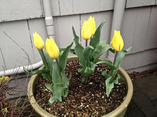 a pot of fresh new tulips