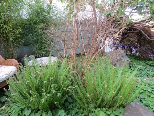 And a hardy fuchsia needs its old stems cut...blast!