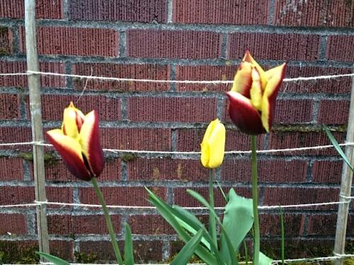 Tulip 'Gavota' in its third year
