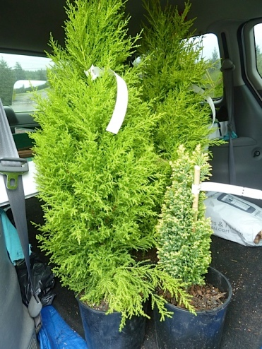 We made an uncharacteristically small haul.  The irresistible little conifer is Chamaecyparis 'Treasure Island'...to 30 inches tall.