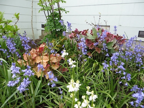 heuchera and hellebore