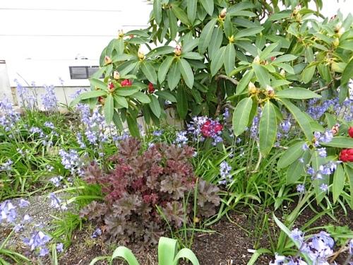 Heucheras have done well in this garden.