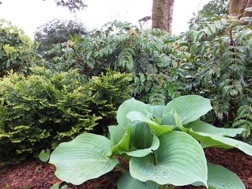 hosta and mahonia