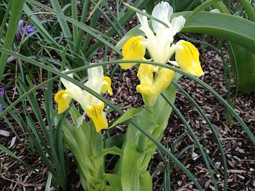 Iris bucharica 'Juno', a wowzer!