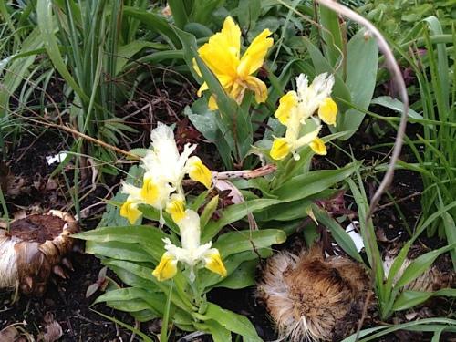 Iris bucharica 'Juno'