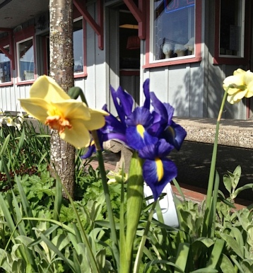 narcissi and Dutch iris