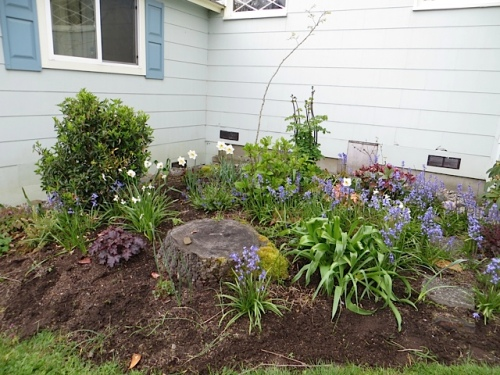 All those bluebells were dormant under the lawn two years ago before we made this garden bed.