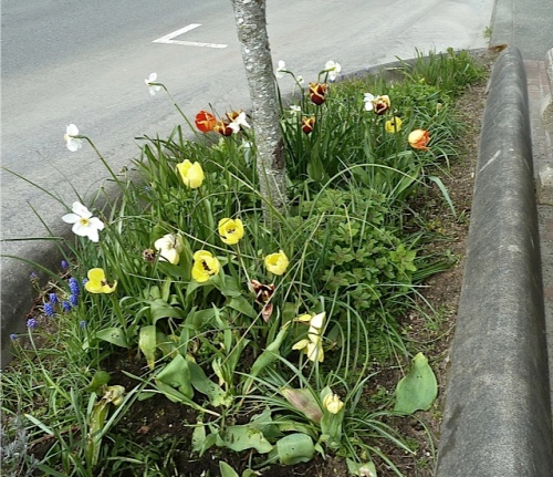 Long Beach street tree with tulips and narcissi