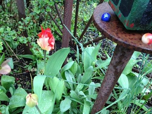 Tulip 'Leo' in bud