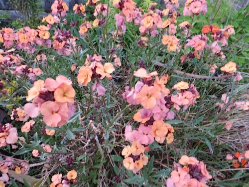 and a stunning and long blooming wallflower