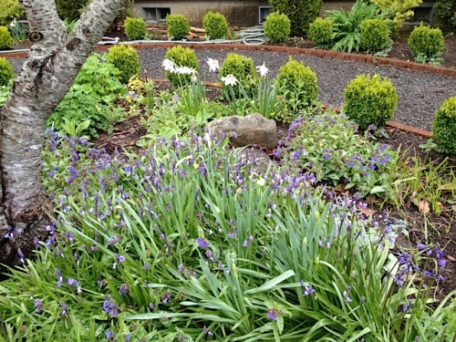 with pesky blue scilla and lovely pulmonaria