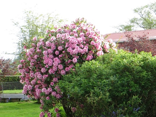Nora got to see her rhododendron bloom last spring, before she died.