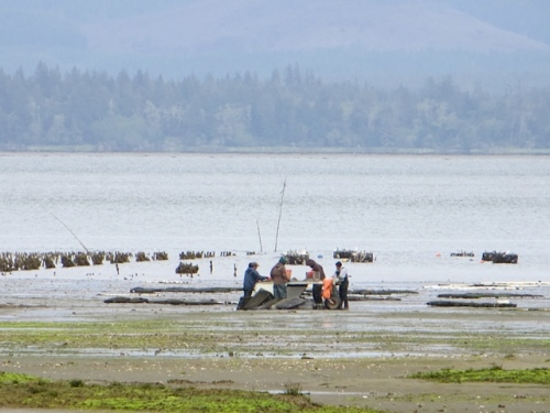 We saw oystering out on Willapa Bay.