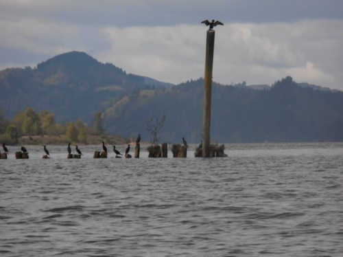 Cormerants on the river side of the island on the pilings.
