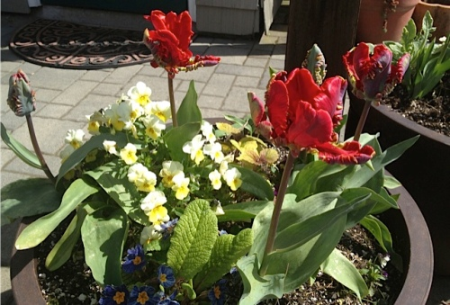 happy parrot tulips by the Anchorage office
