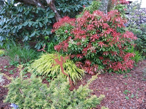bright new leaves on Pieris