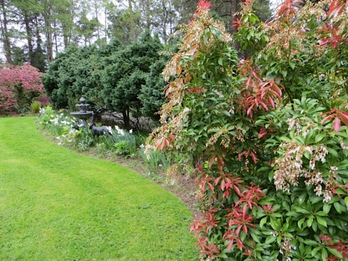 Pieris and the lawn border with new fountain