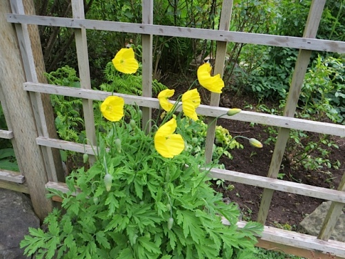 outside the fence, windblown Meconopsis cambrica (Welsh poppy)
