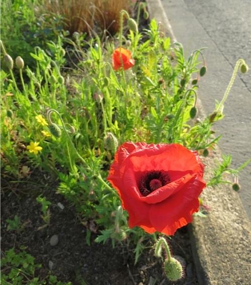Papaver rhoeas (Flander's Field poppy)