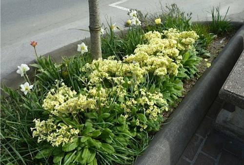 street tree primulas