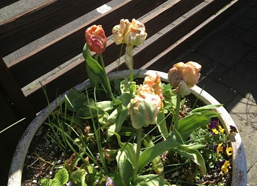 A sad tulip container blighted by rain...