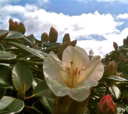 The first flower on the old rhodendron by Allan's shop