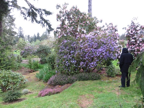 One of the old rhododendrons