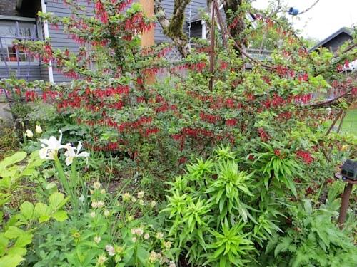 I so adore Ribes speciosum, still blooming