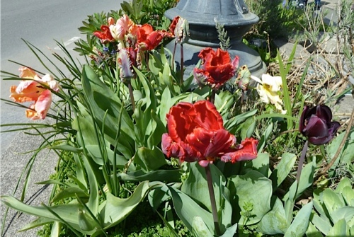 Tulip 'Rococo' with an old bulb of 'Black Hero'