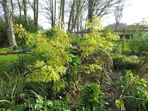 Sambucus 'Sutherland Gold' (golden cutleaf elderberry)