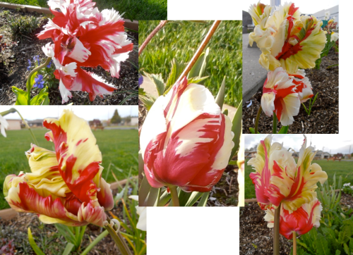 Tulip 'Flaming Parrot' at Veterans Field, Allan's photos