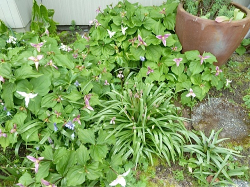 The trillium are fading to pink and mauve.