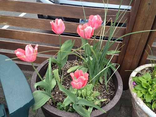 more tulips in the center courtyard