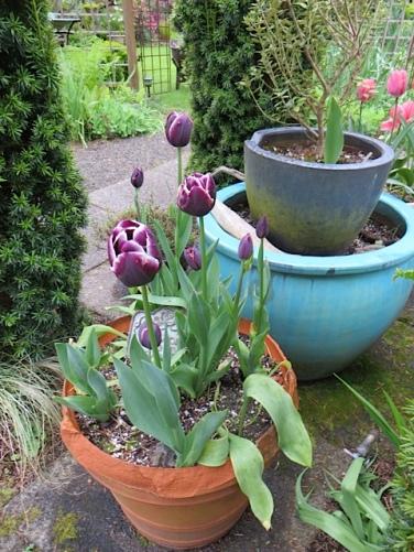 Tulip 'Jackpot' safe from munching deer