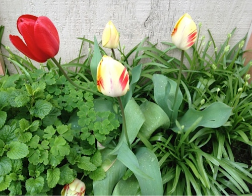 tulips by gate to the side yard