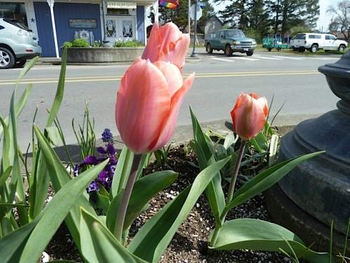 We treat the tall, showy tulips as annuals.