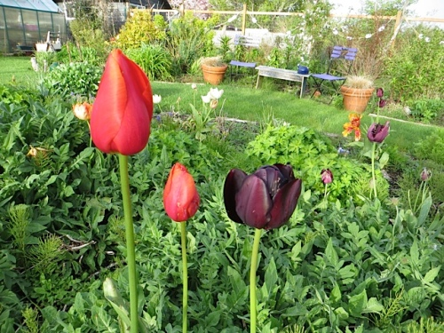 tulips, two or three years old