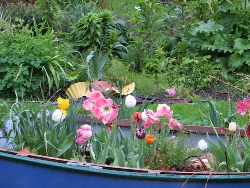 Later I saw that the tulips in my garden boat had turned to face me.