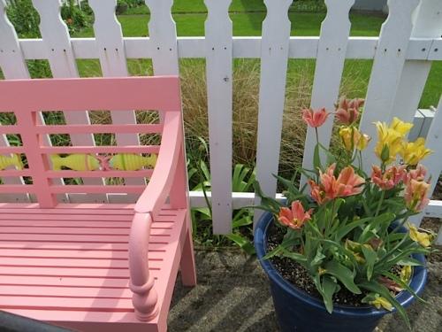 Tulips 'Artist' and 'Golden Artist' still blooming.