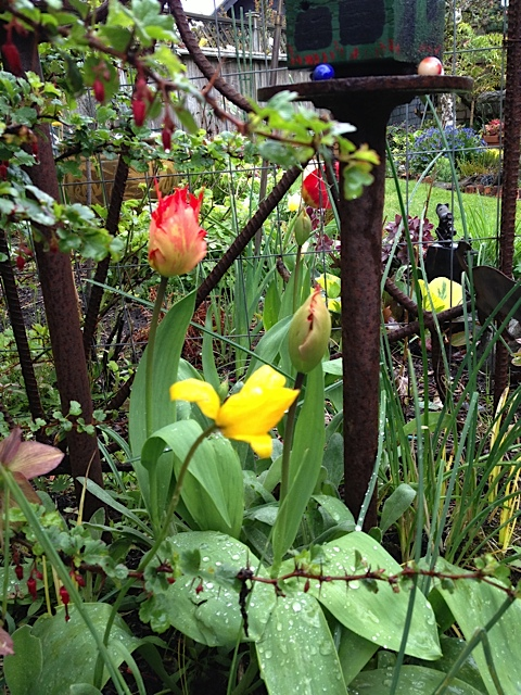 Two of my favourite tulips:  T sylvestris (yellow) and 'Leo' (red)